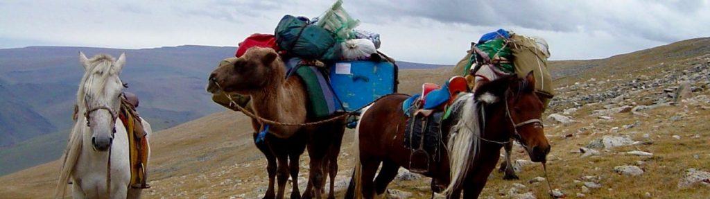 Caravane à chameaux logistique Altai mongol
