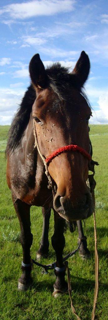 Cheval Mongolie Khangai Orkhon