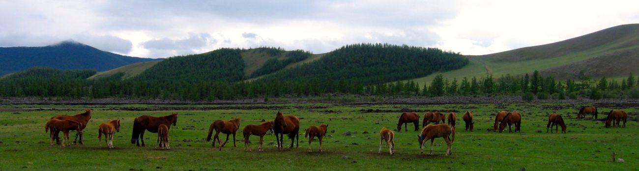 Chevaux en liberté monts Khangai Orkhon Mongolie