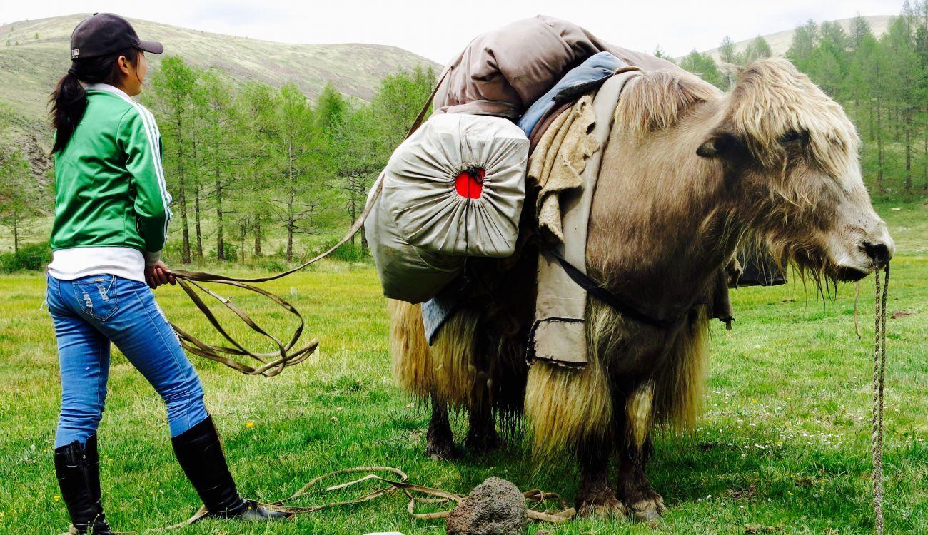Portage à dos de Yack en Mongolie